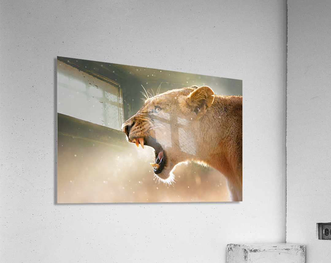 Lioness in the rain  Acrylic Print