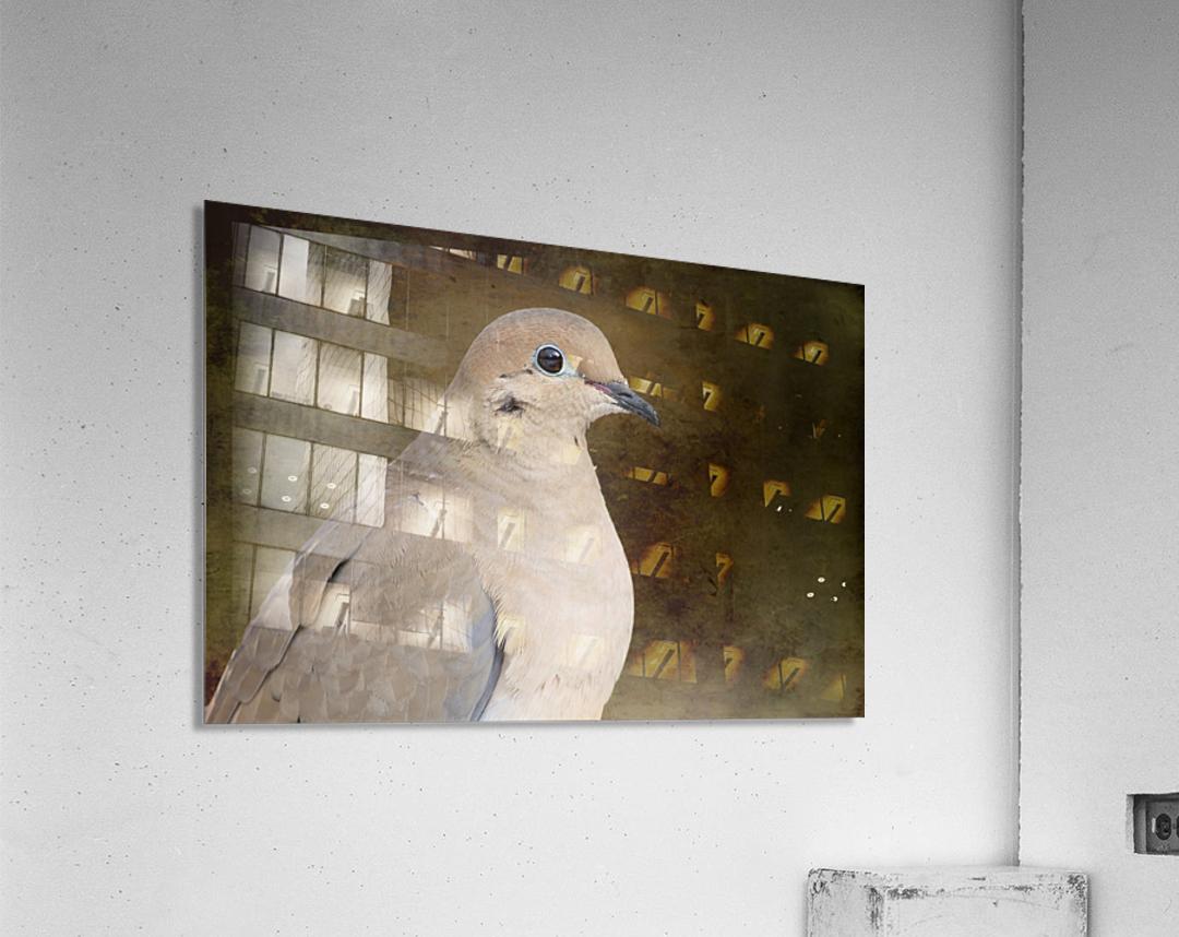 Mourning Dove  Acrylic Print