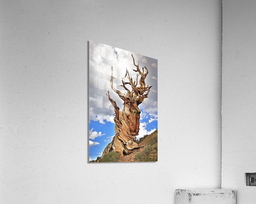 Ageless  Acrylic Print