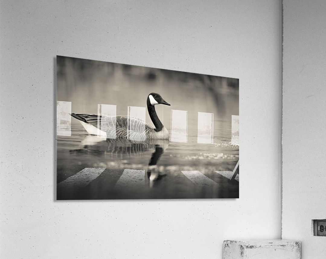 Canada Goose - 2  Acrylic Print