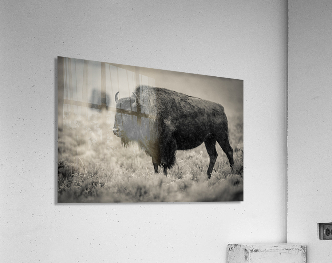 Bison of the Far West  Acrylic Print