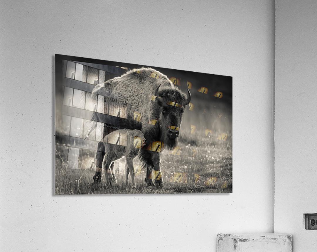 Bison love  Acrylic Print