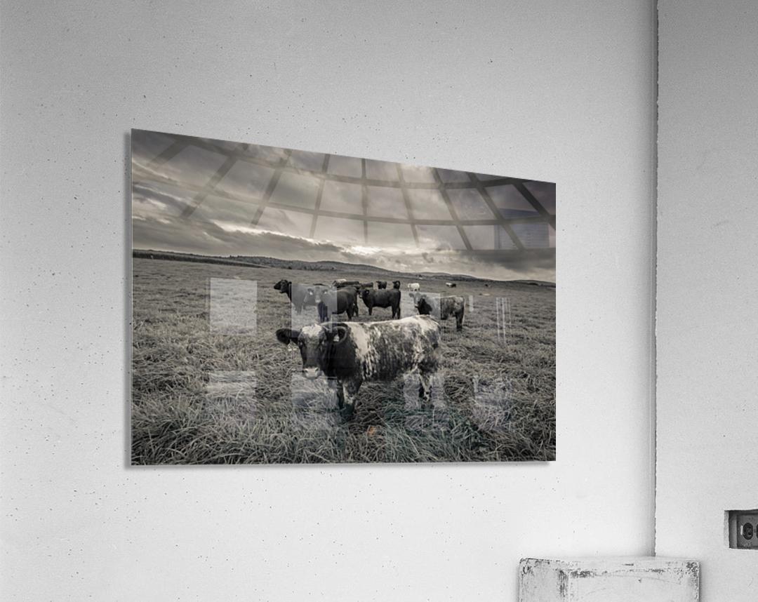 Cowscape  Acrylic Print