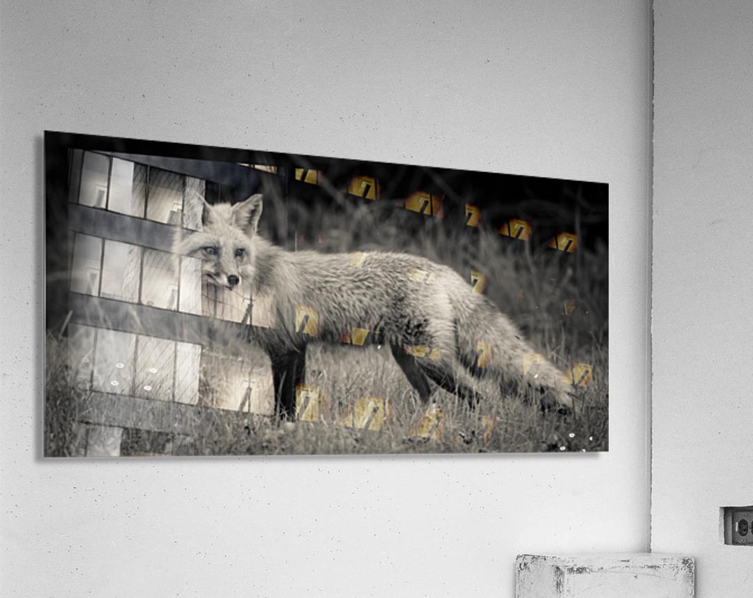 Red Fox  Acrylic Print