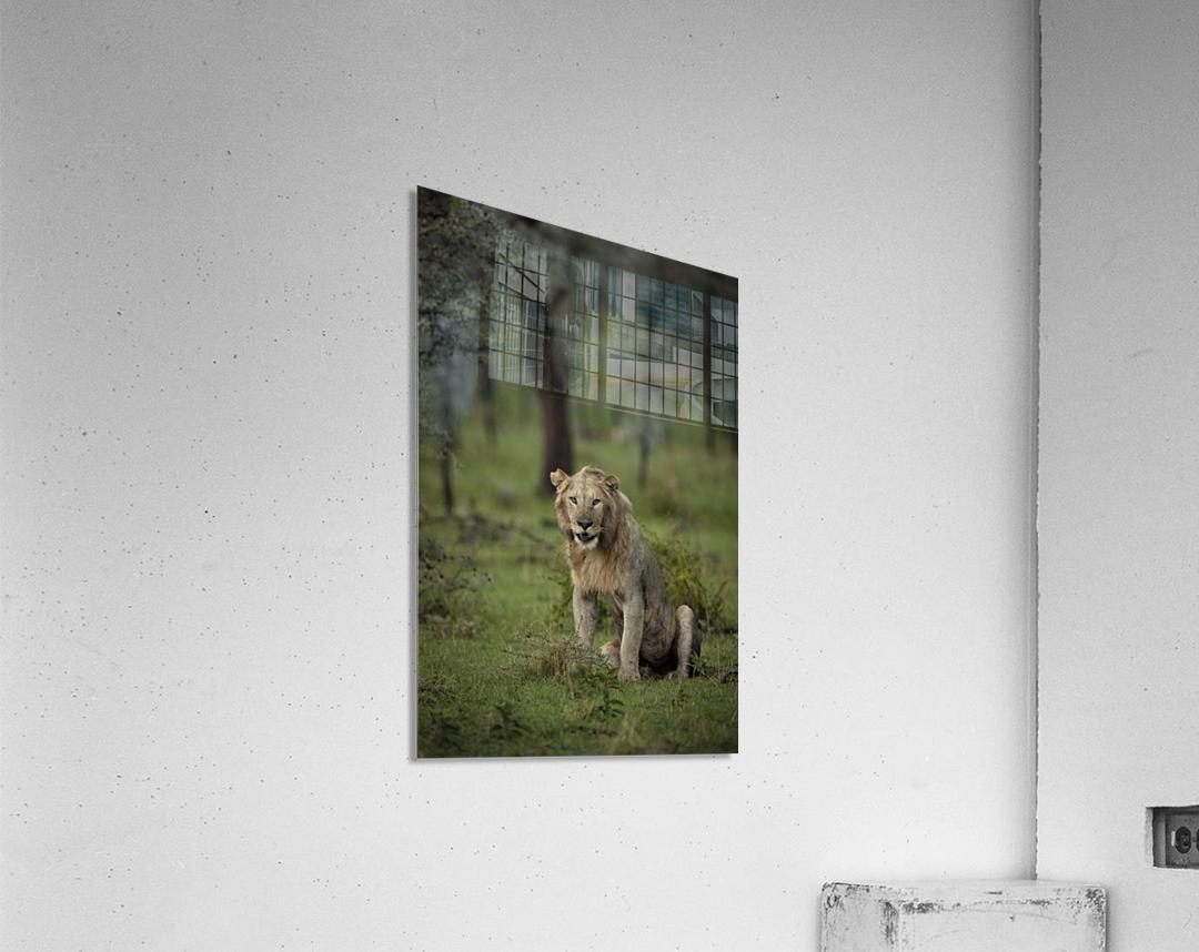 Lion under Rain by www.jadupontphoto.com  Acrylic Print