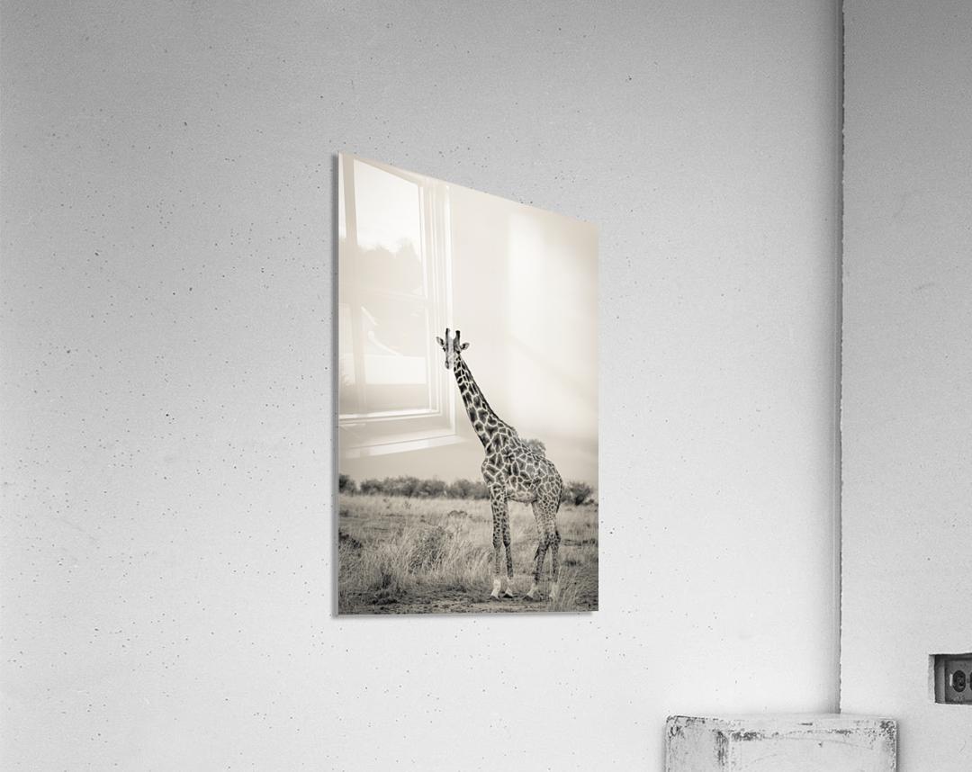 Majestic Giraffe by www.jadupontphoto.com  Acrylic Print