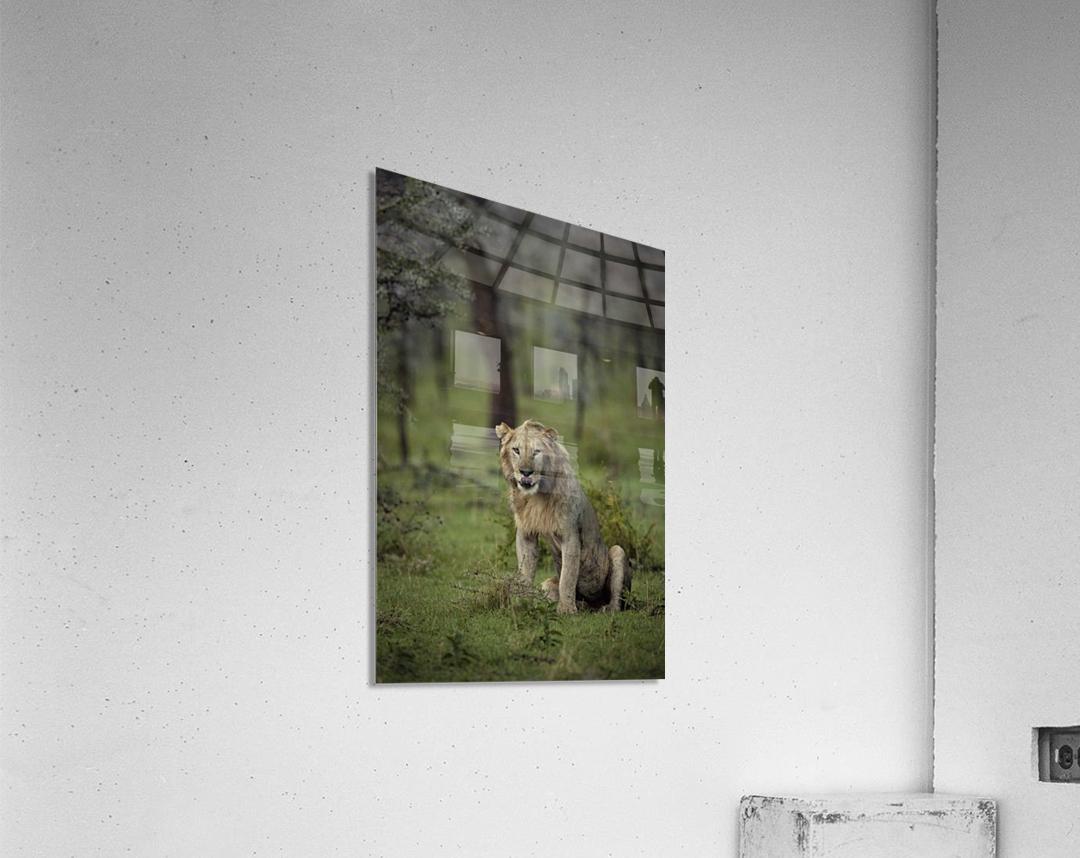 A Lions Tongue  Acrylic Print