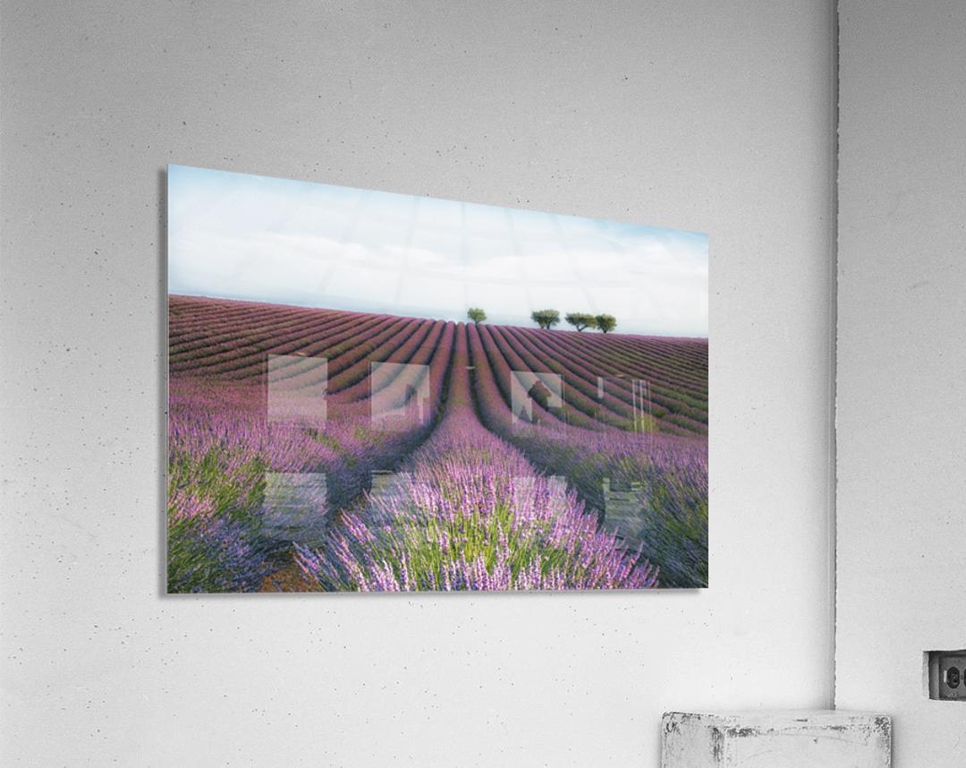 Velours de Lavender  Acrylic Print