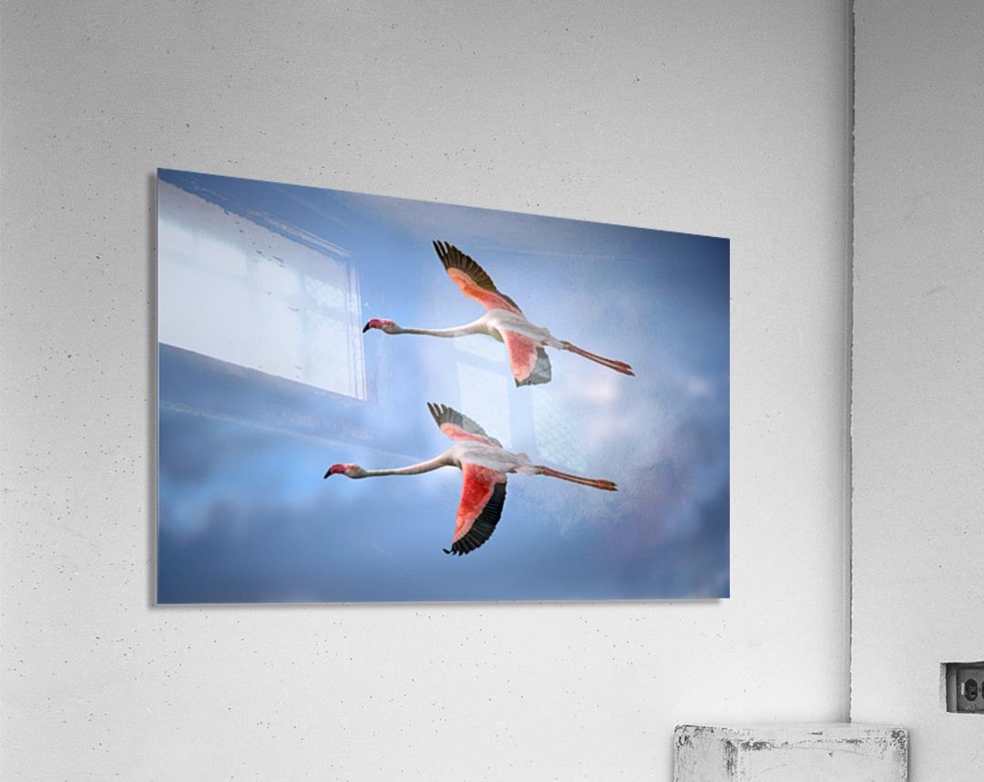 Greater Flamingos  Acrylic Print