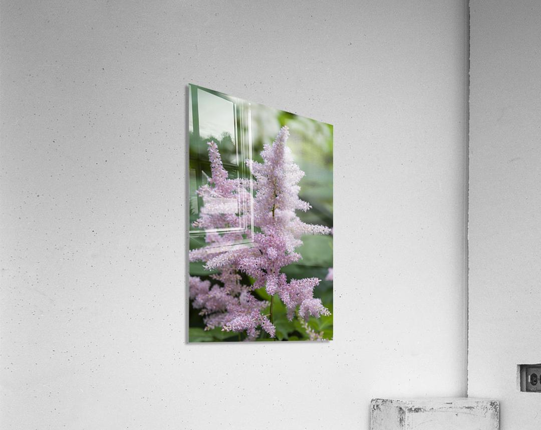 Pink Astilbe 1  Acrylic Print