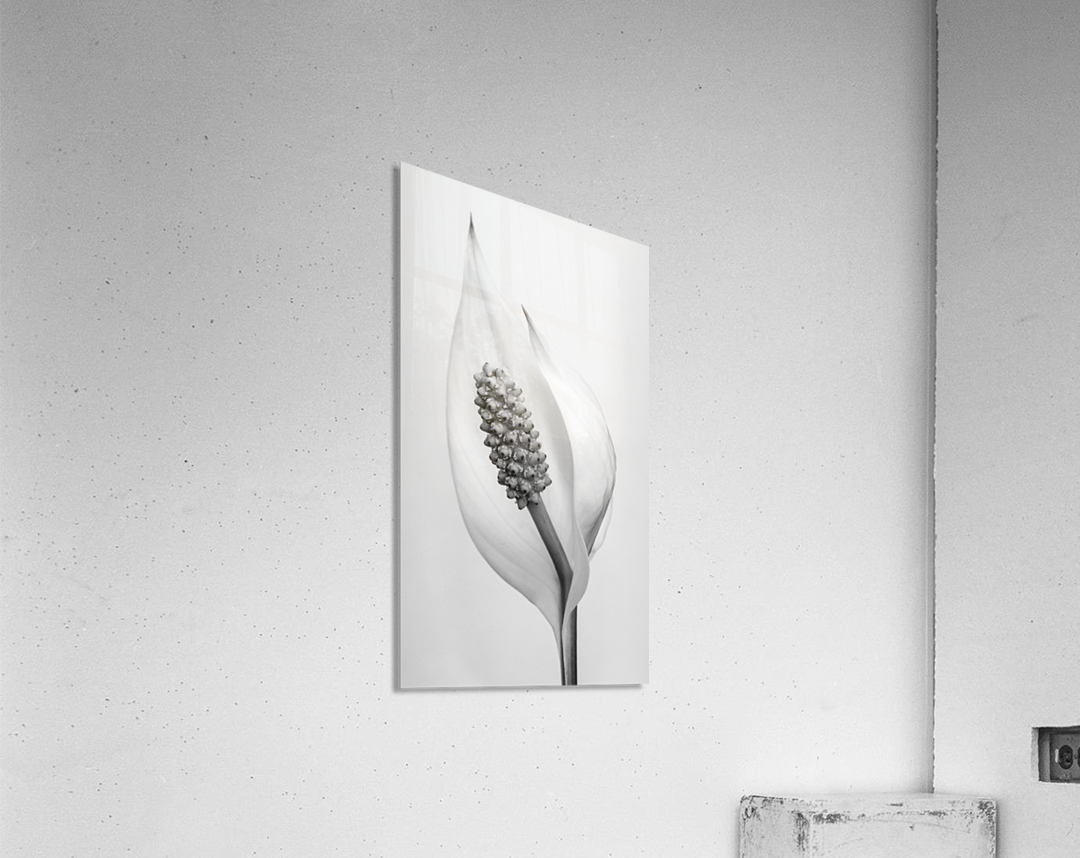 Peace lily  Acrylic Print