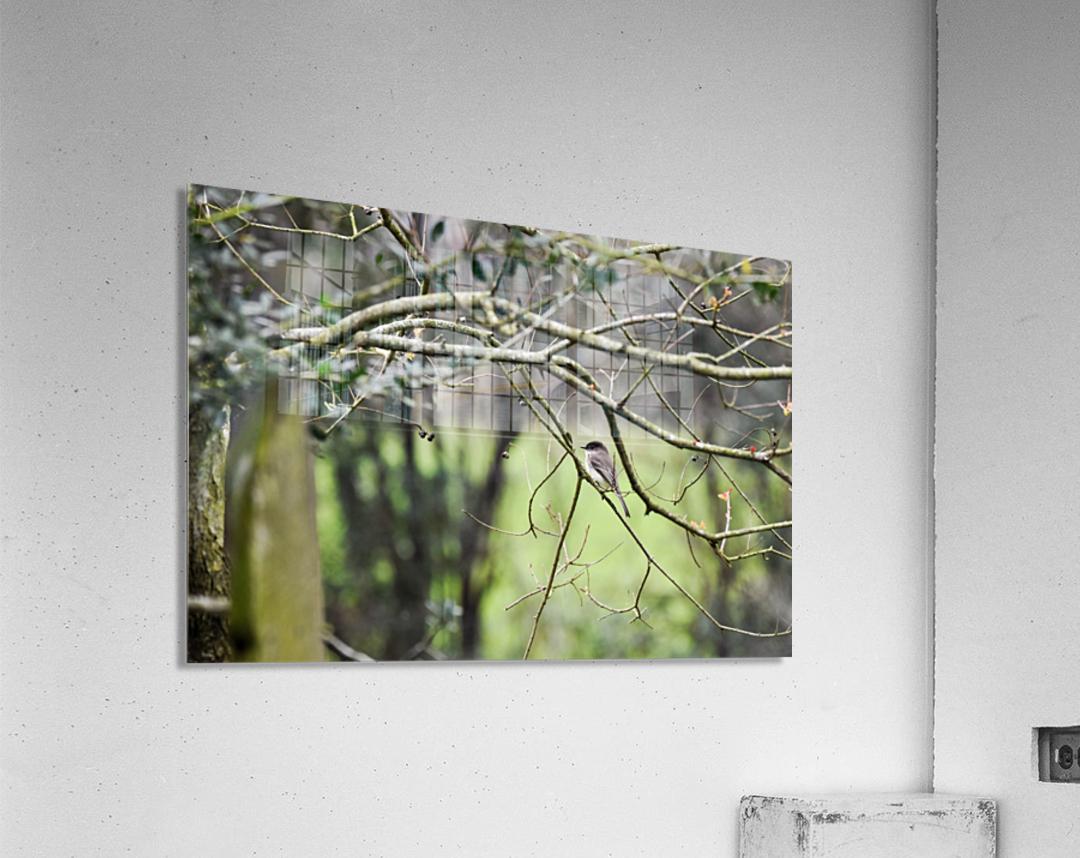 Eastern Phoebe  Acrylic Print