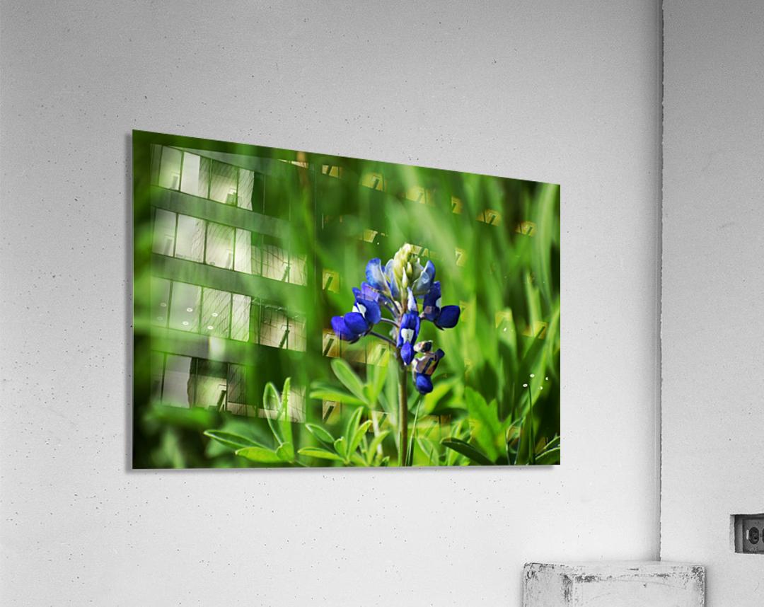 Texas Blue Bonnets  Acrylic Print