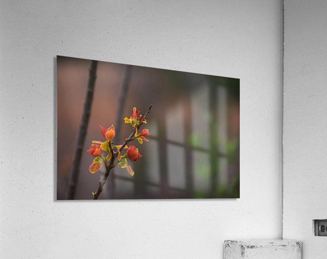 orange blossoms  Acrylic Print