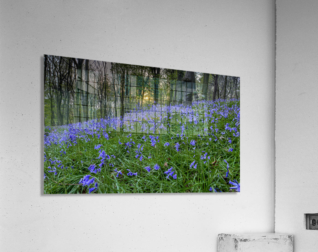 Sunset at Bluebell Wood in Margam  Acrylic Print