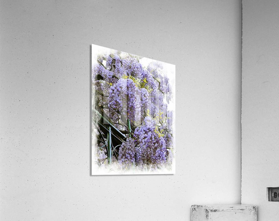 Wisteria Clouds  Acrylic Print