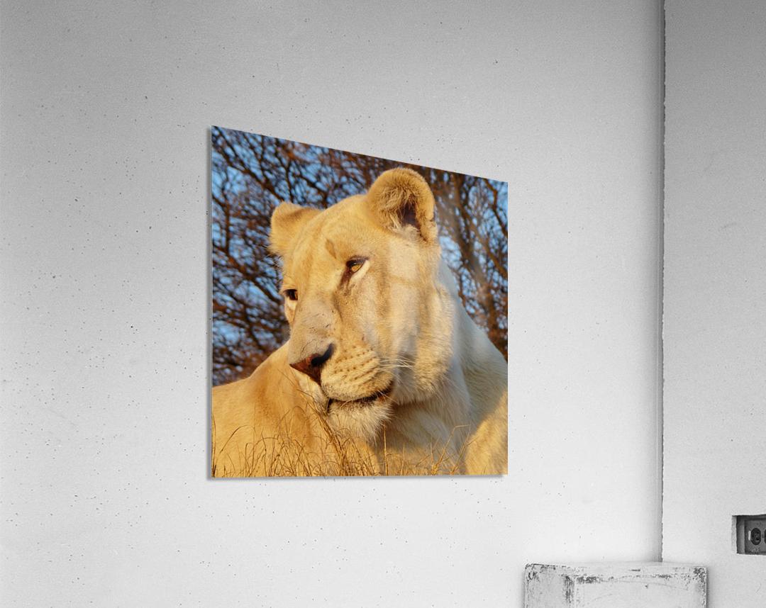 White Lioness Sunset 593  Acrylic Print
