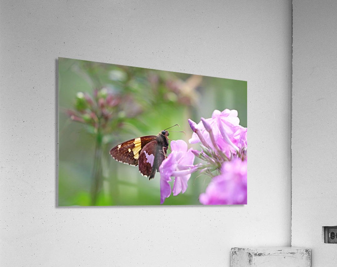 Silver Spotted Skipper  Acrylic Print