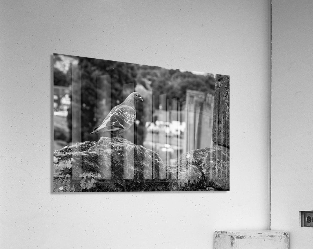 Black and White Pigeon  Acrylic Print