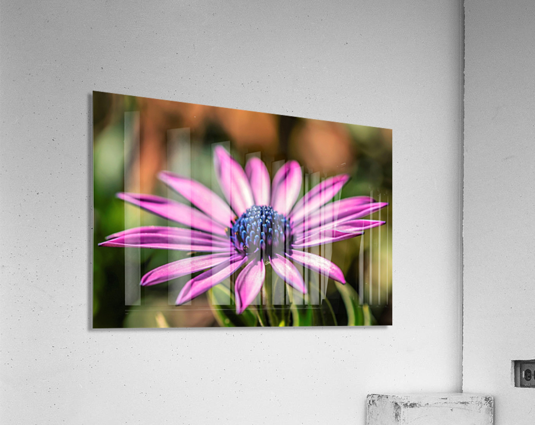 Daisy in Pink  Acrylic Print