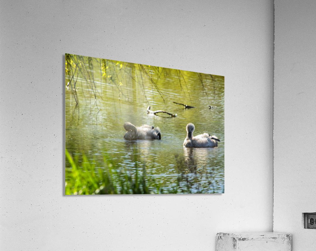 Cygnets  Acrylic Print