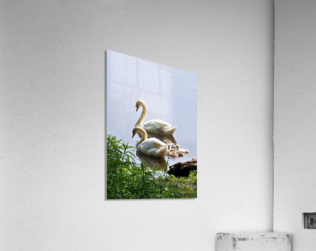 Swans and Sygnets on lake  Acrylic Print