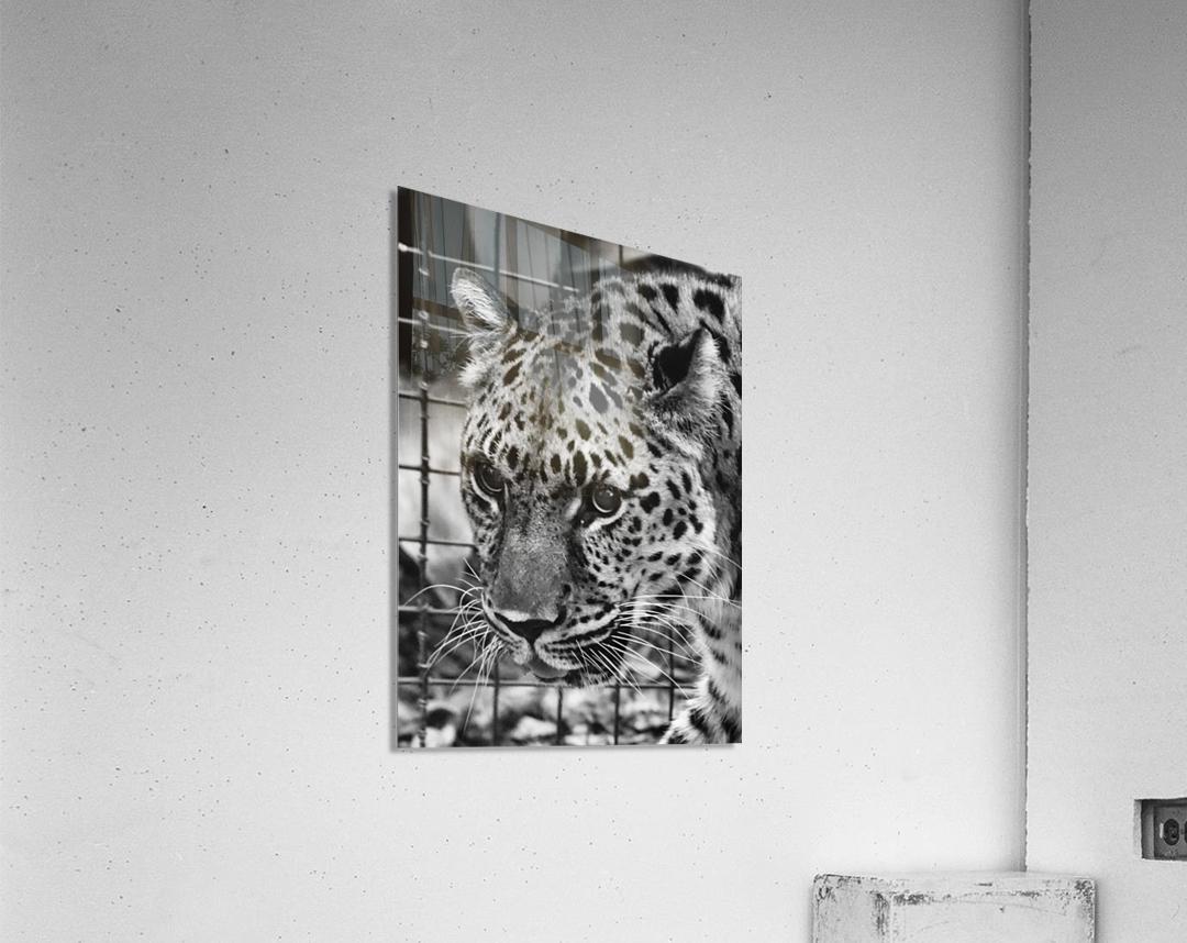 Leopard in Black & White  Acrylic Print