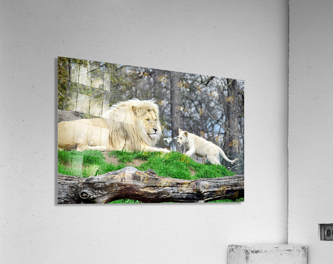 White Lion with Baby  Acrylic Print
