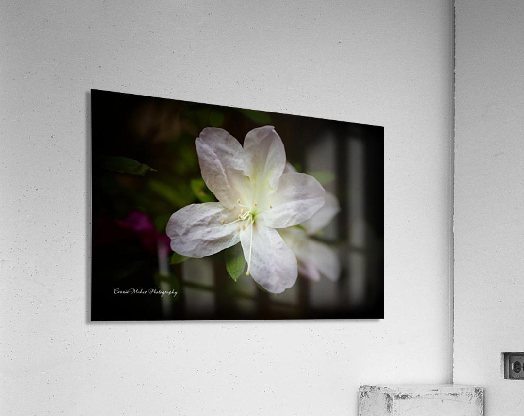 White Azalea   Acrylic Print