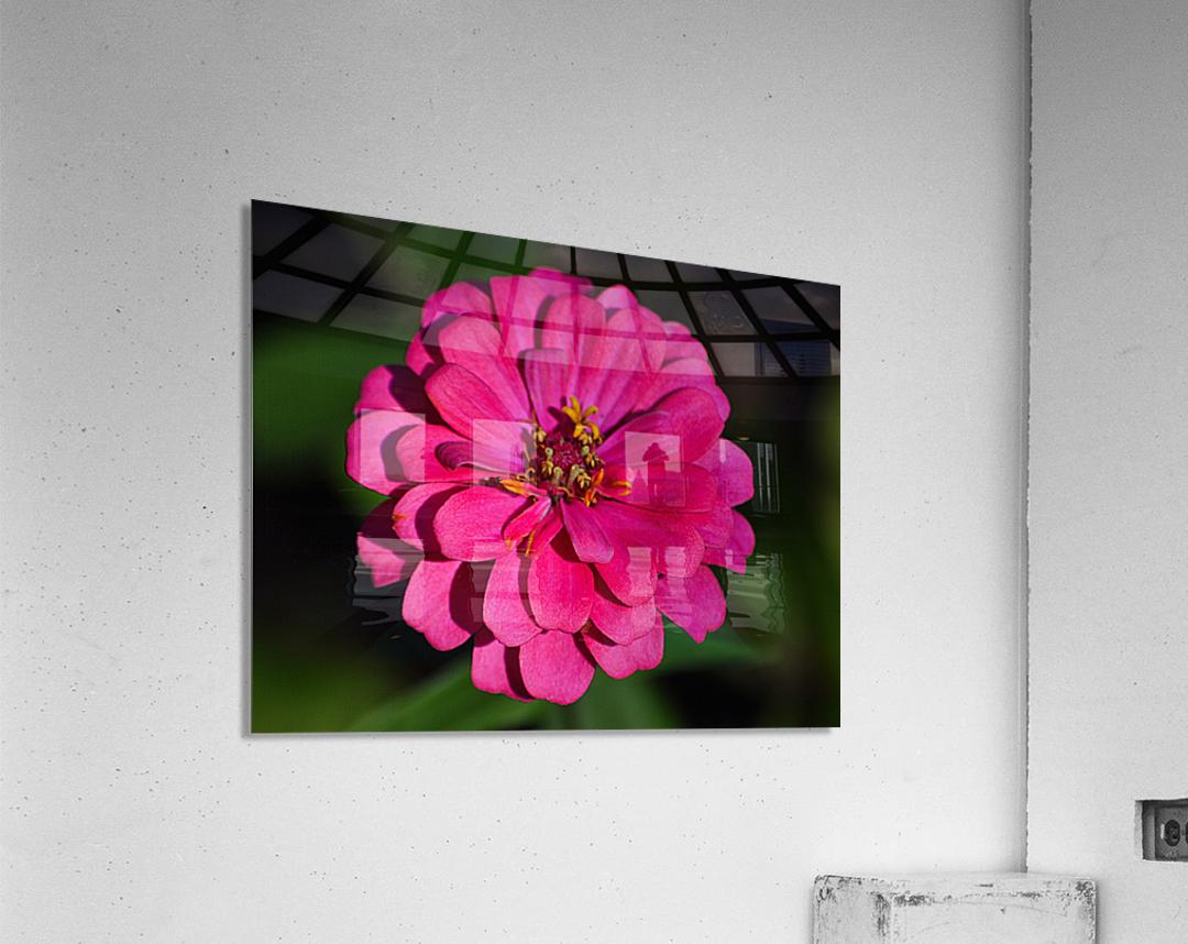 Zinnia  Acrylic Print