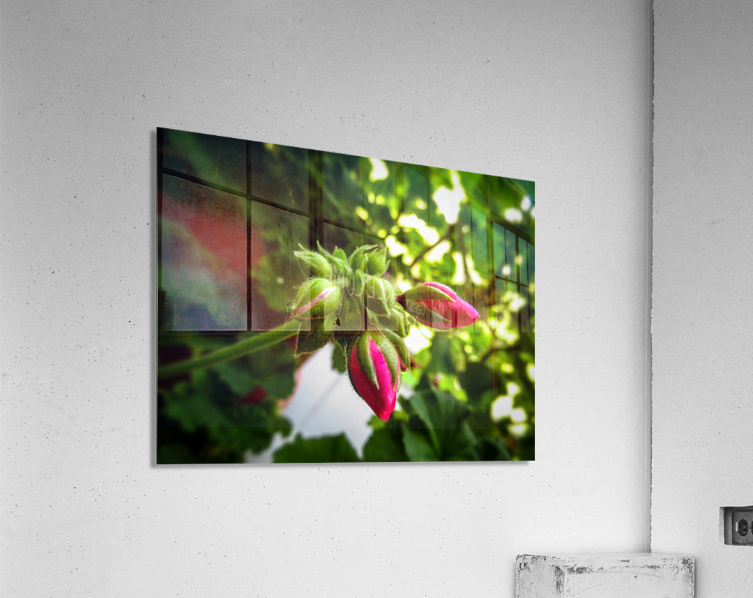 Red buds covered in green  Acrylic Print