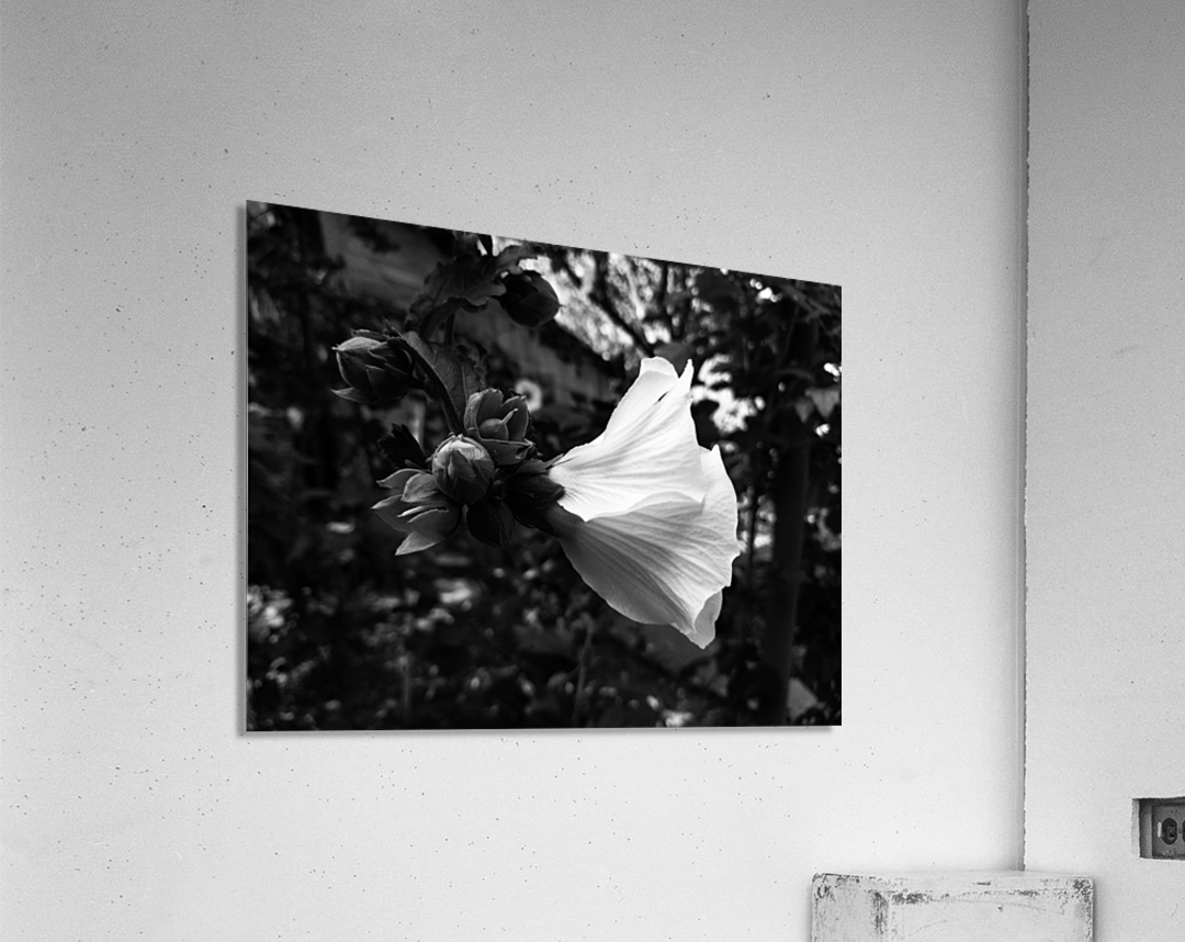 Blooming flower in black and white  Acrylic Print