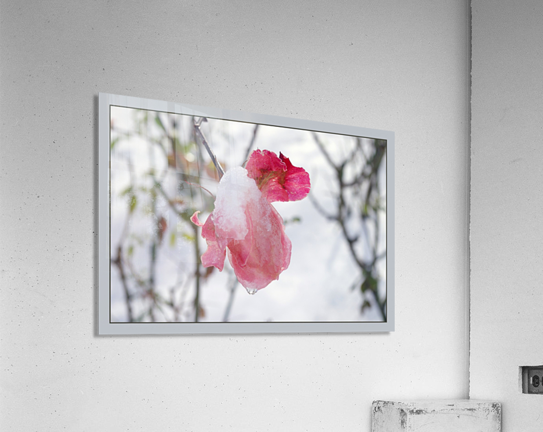 Roses in the snow  Acrylic Print