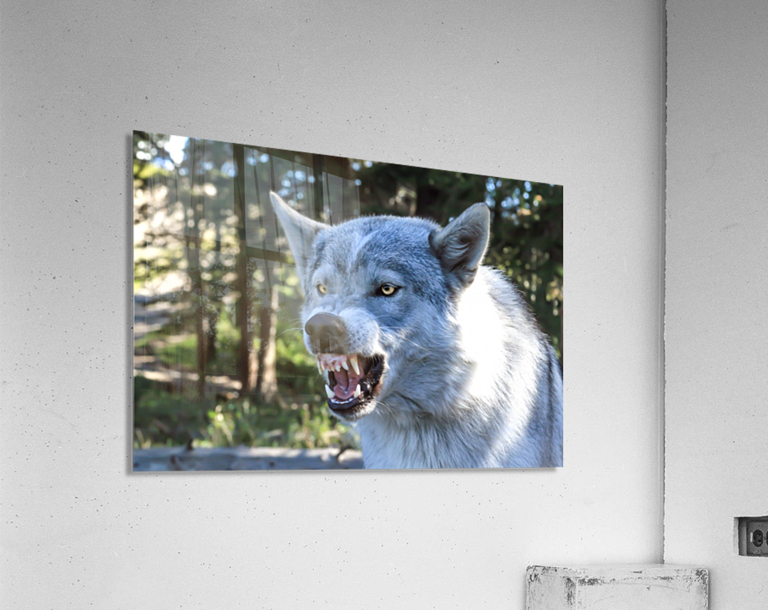 Wolf Dog Snarling  Acrylic Print