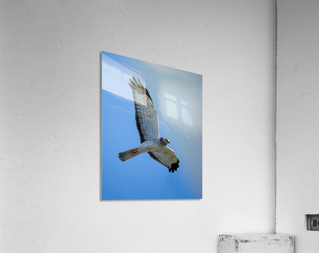 Northern Harrier in Flight  Acrylic Print