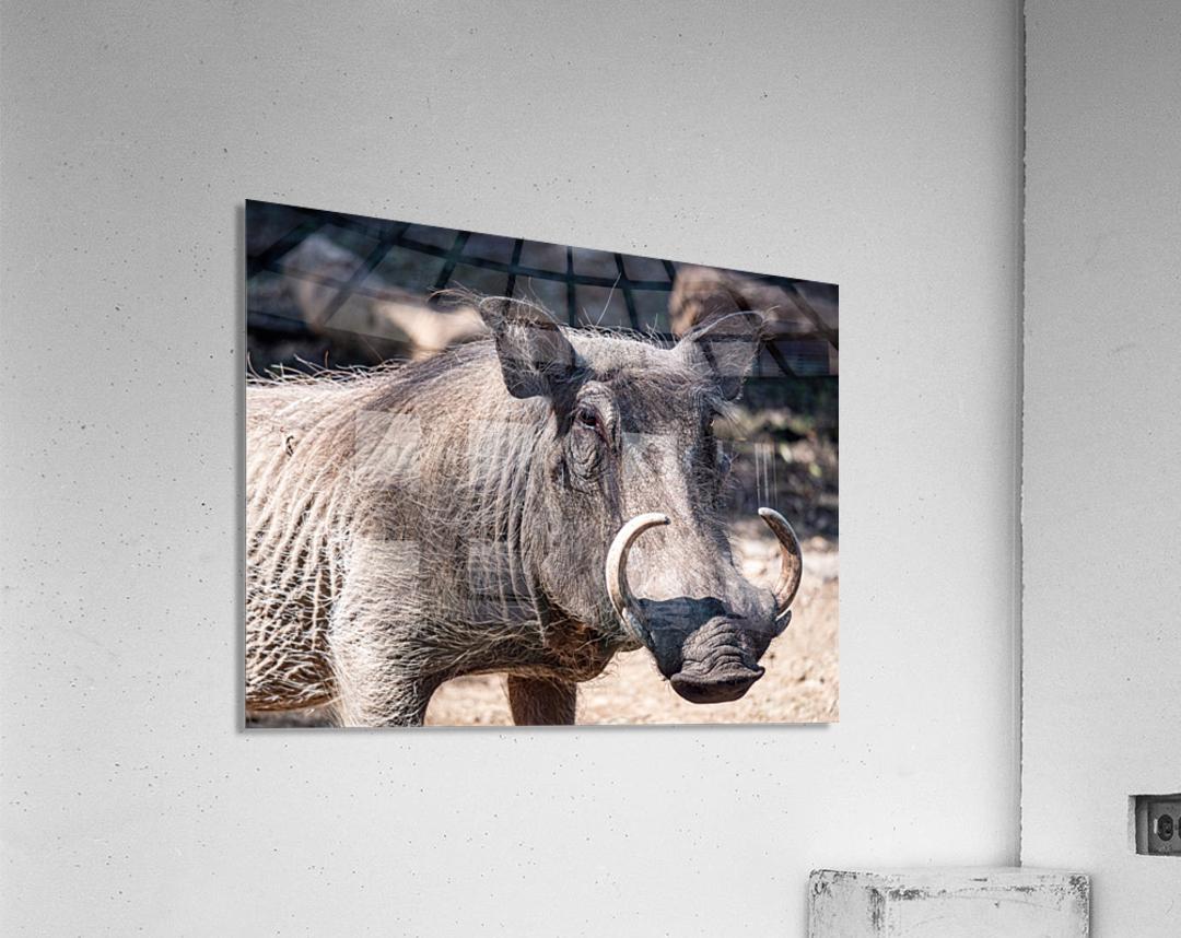 Warthog Close Up  Acrylic Print