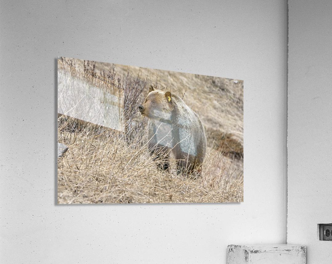 6897 - Grizzly Bear 2160  Acrylic Print