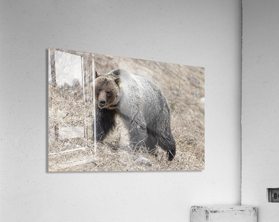 6970 - Grizzly Bear 2160  Acrylic Print