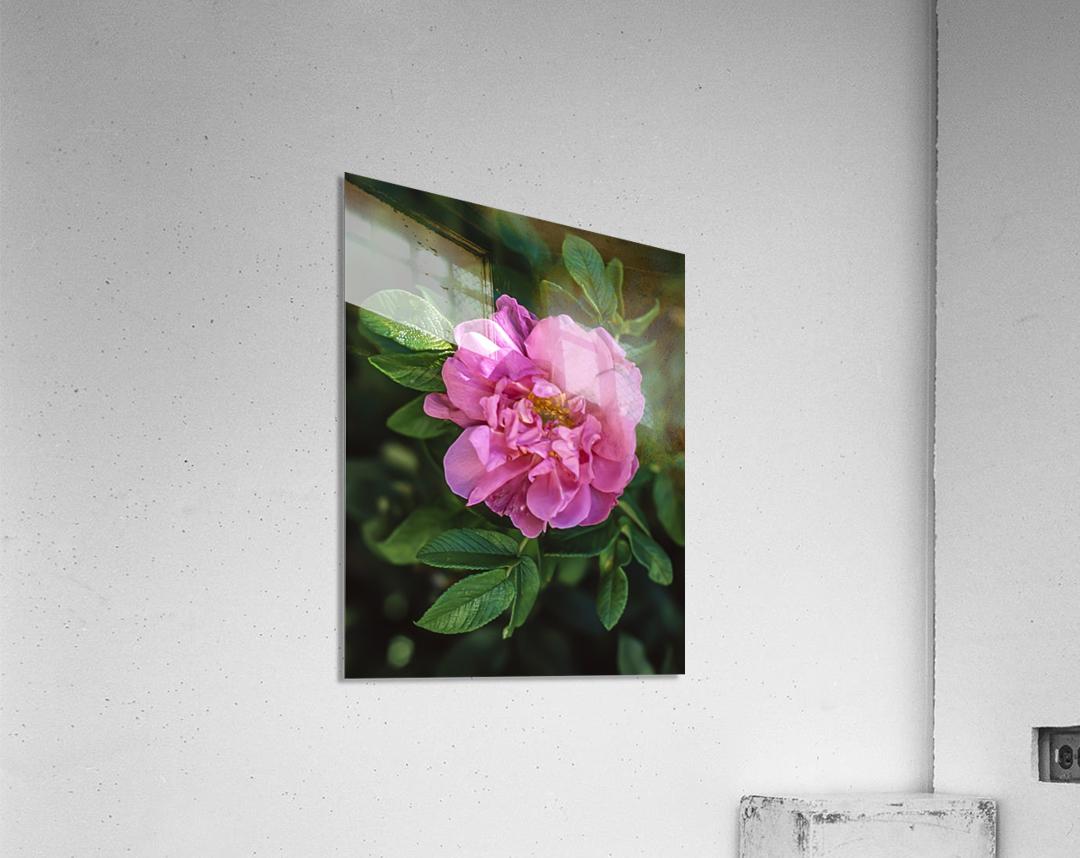 Last Rose of Fall  Acrylic Print