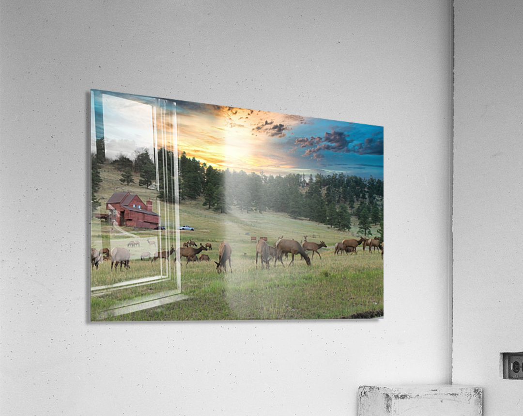 Colorado Elk  Acrylic Print