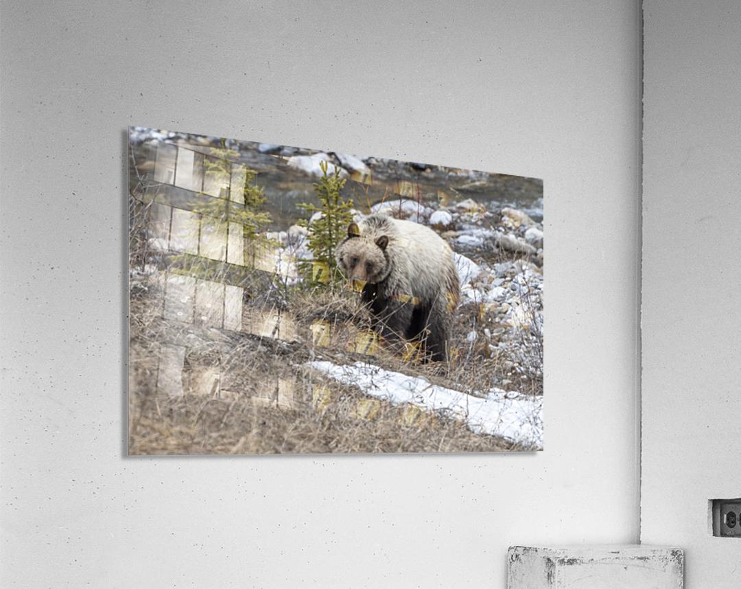 6944 - Grizzly Bear  Acrylic Print