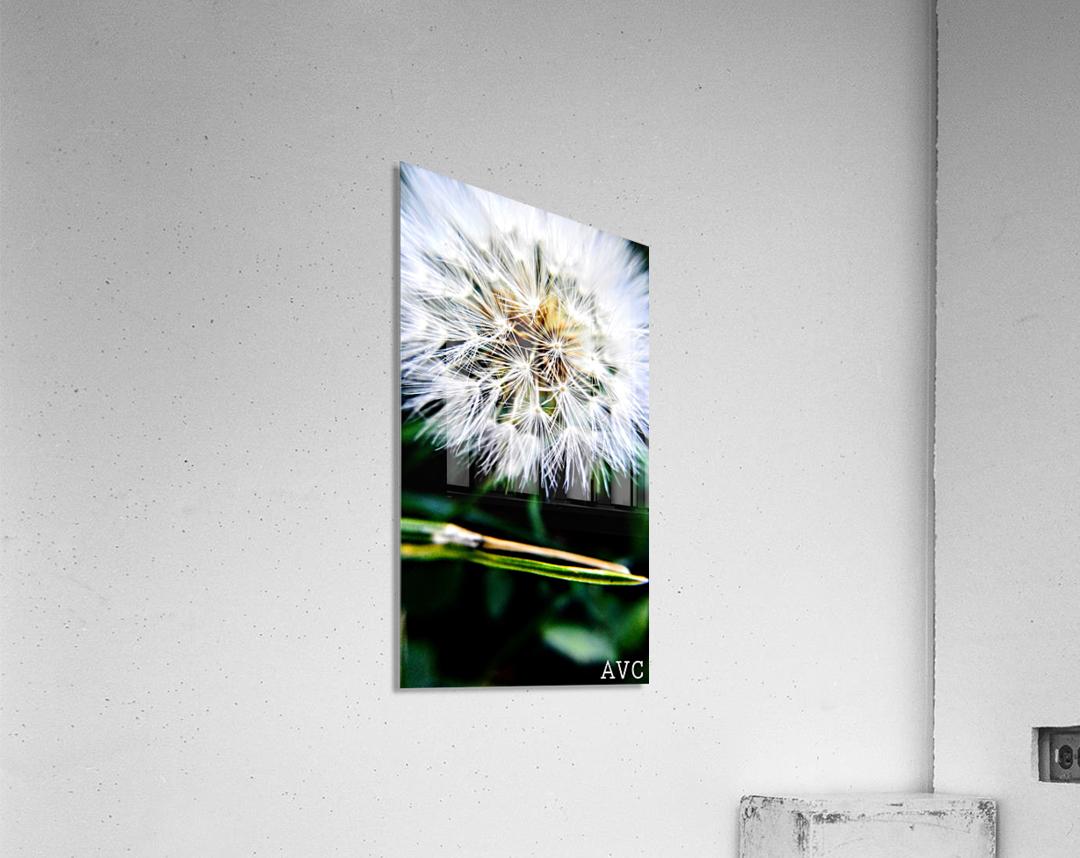 Dandelion Fluff  Acrylic Print