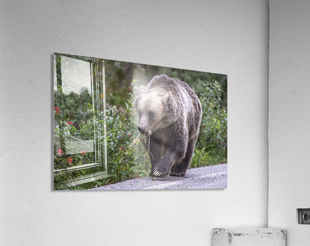 0037 - Grizzly Bear with Dandelions in Banff National Park Canada.  Acrylic Print
