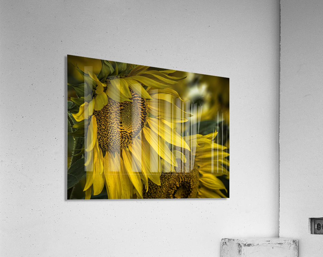 Sunflower Dawn   Acrylic Print