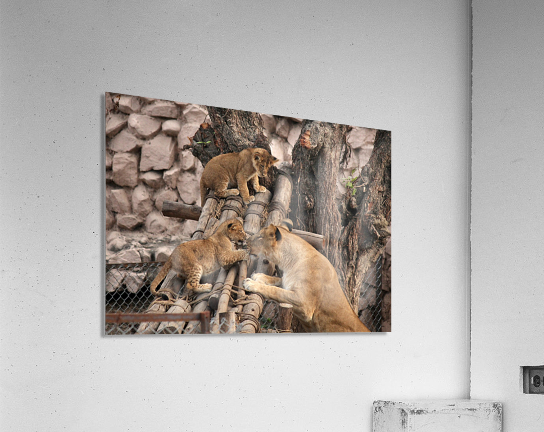 Lioness baby in Lucknow Zoo (1)  Acrylic Print