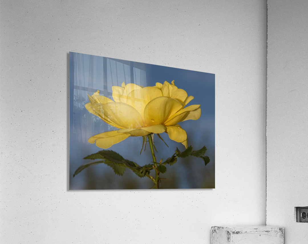 Yellow Rose Landscape  Acrylic Print