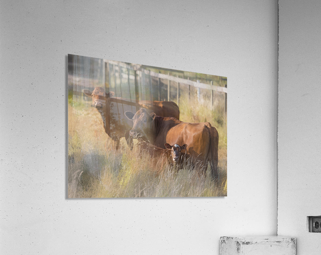 Three Cows   Acrylic Print