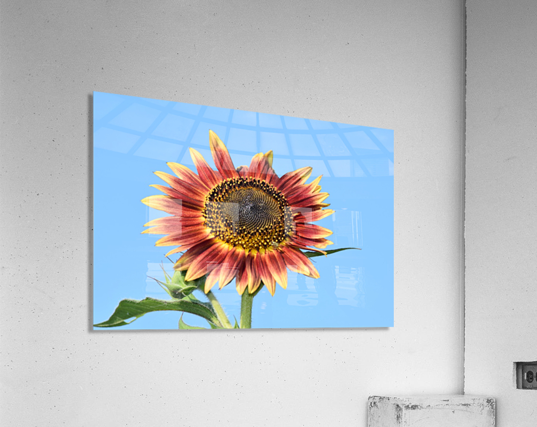 outstretched  Acrylic Print