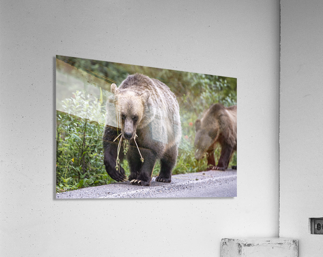 Grizzly Bear - Mouth Full  Acrylic Print