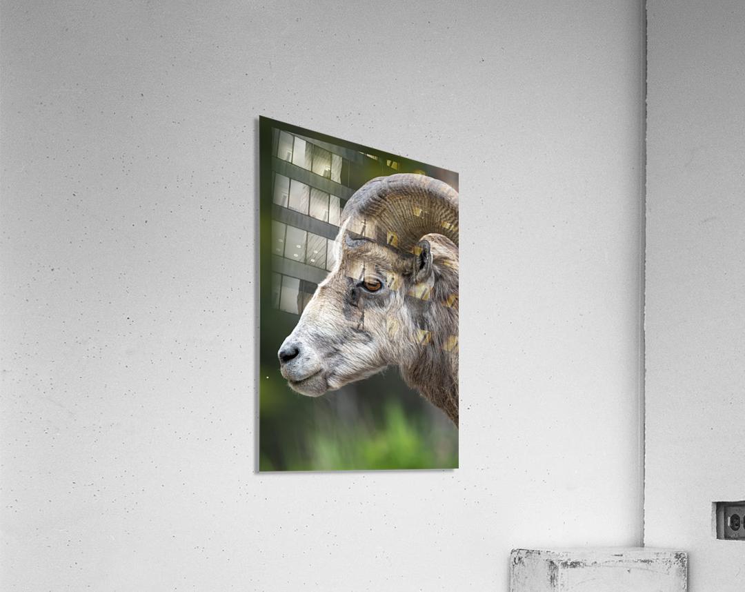 5512 - Big Horn Sheep  Acrylic Print